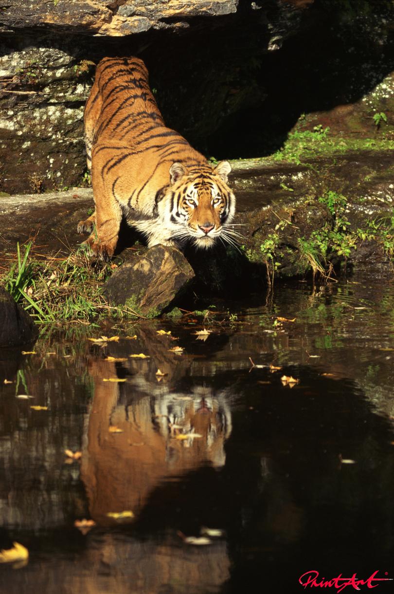 Tiger vor Wasser Wildtiere