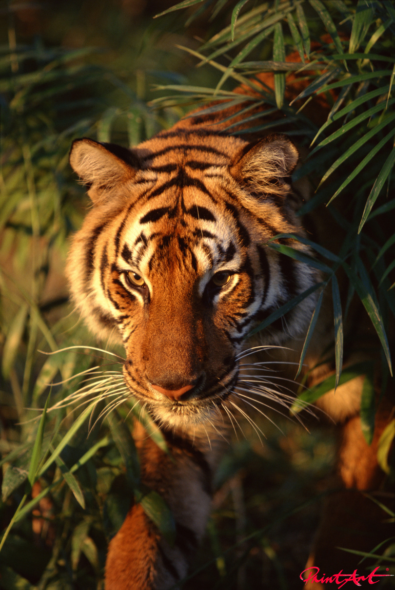 Tigerportrait Wildtiere