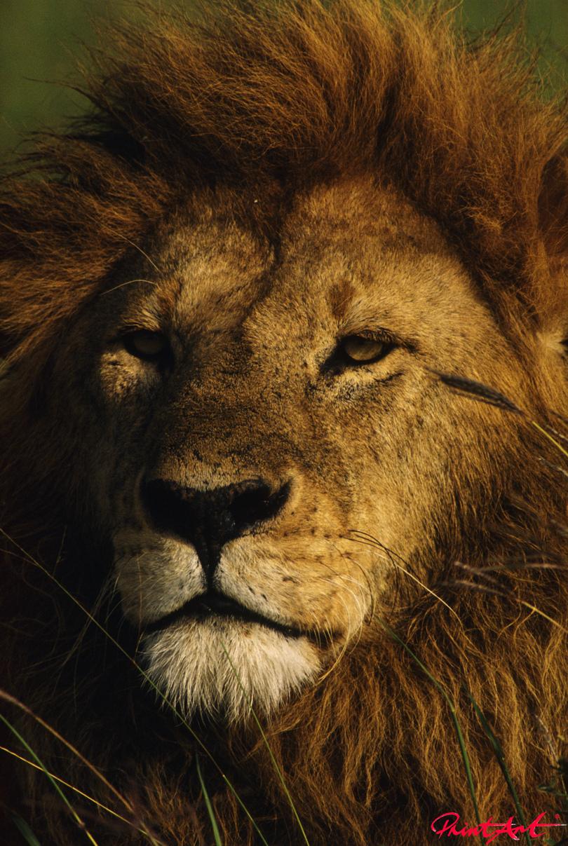 Löwe Portrait Wildtiere