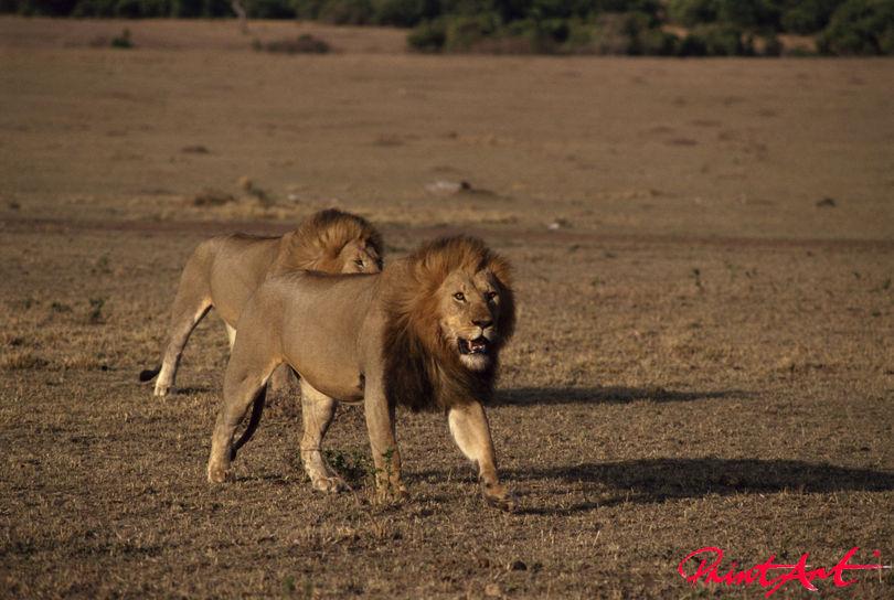 Löwen in Savanne Wildtiere