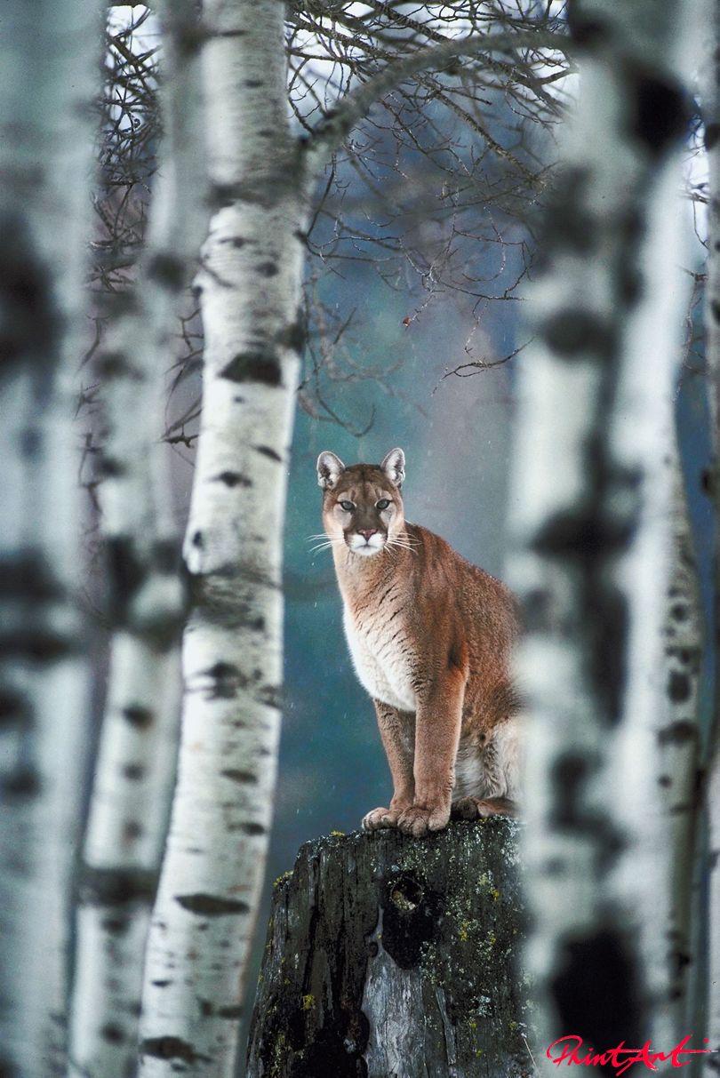 Puma auf Baumstumpf Wildtiere