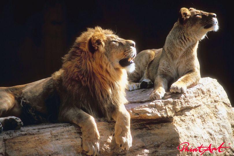 Löwenehepaar Wildtiere