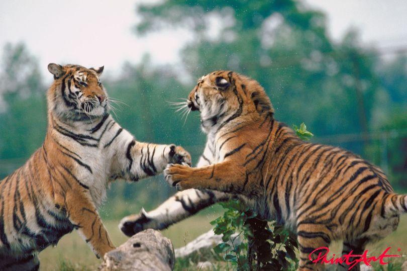 Kämpfende Tiger Wildtiere