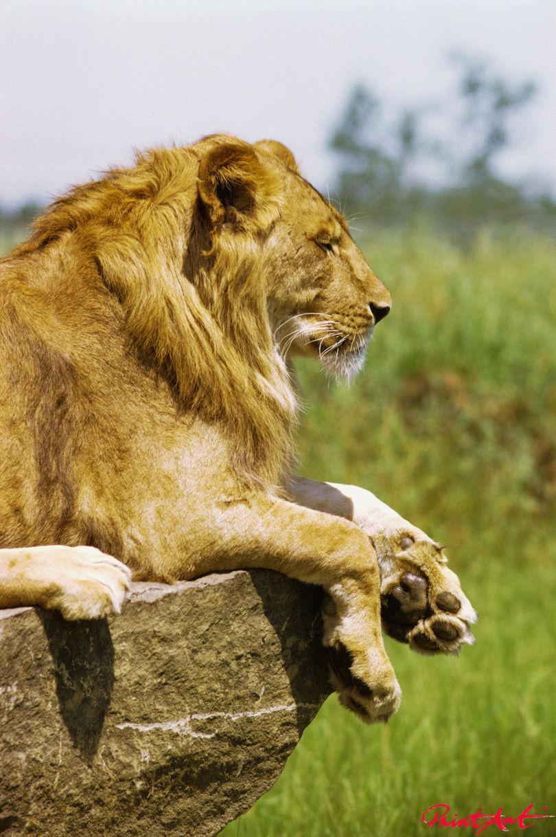 Löwe Seite Wildtiere