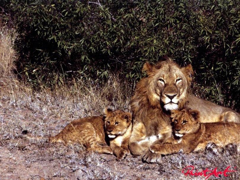 Löwenpapa mit Kindern Wildtiere