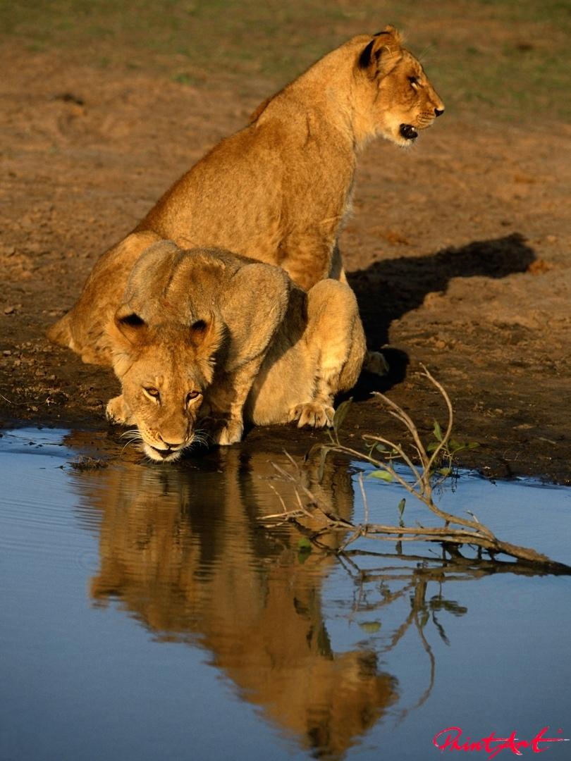 Löwinnen trinkend Wildtiere