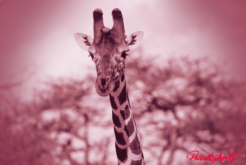 Giraffenkopf violett Wildtiere