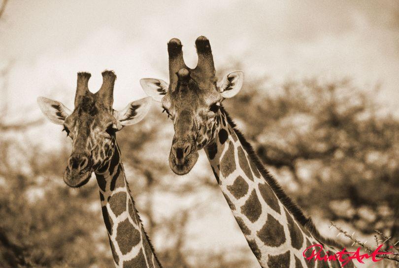 Giraffenduo Wildtiere