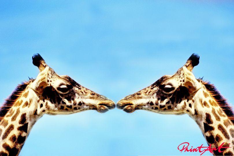 Giraffenkuss Wildtiere