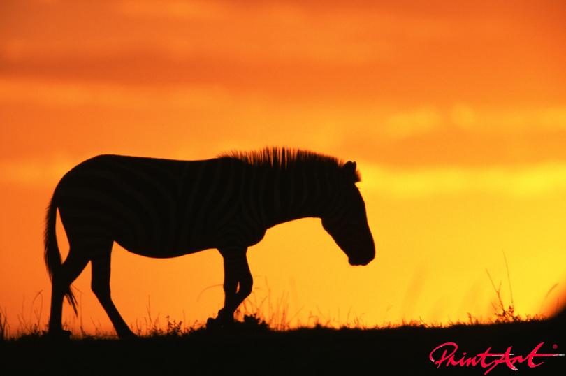 Zebra vor Abendsonne Wildtiere