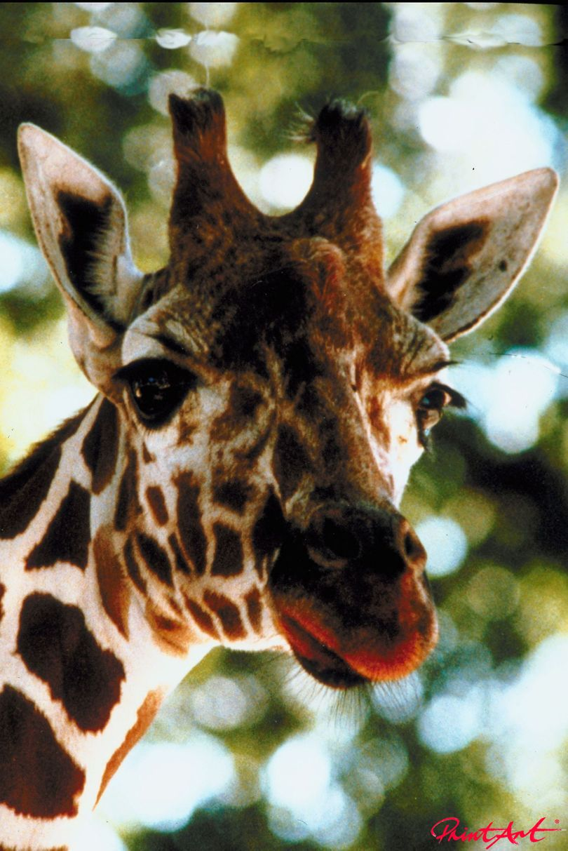 Giraffenportrait nah Wildtiere