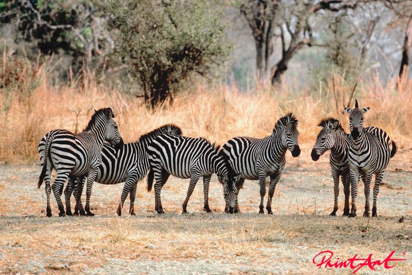 Zebraherde Steppe Wildtiere
