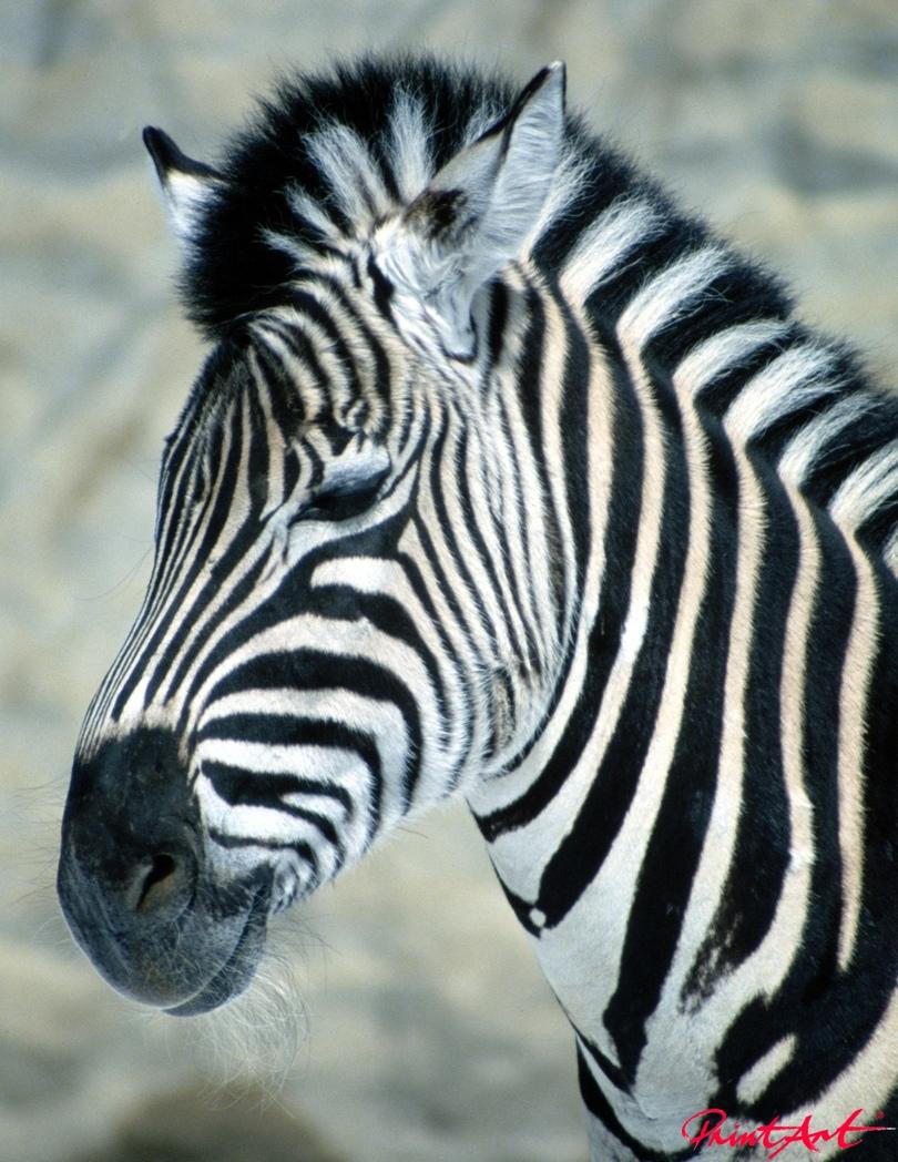 Zebrakopf Wildtiere