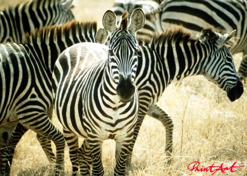 Zebraherde Wildtiere
