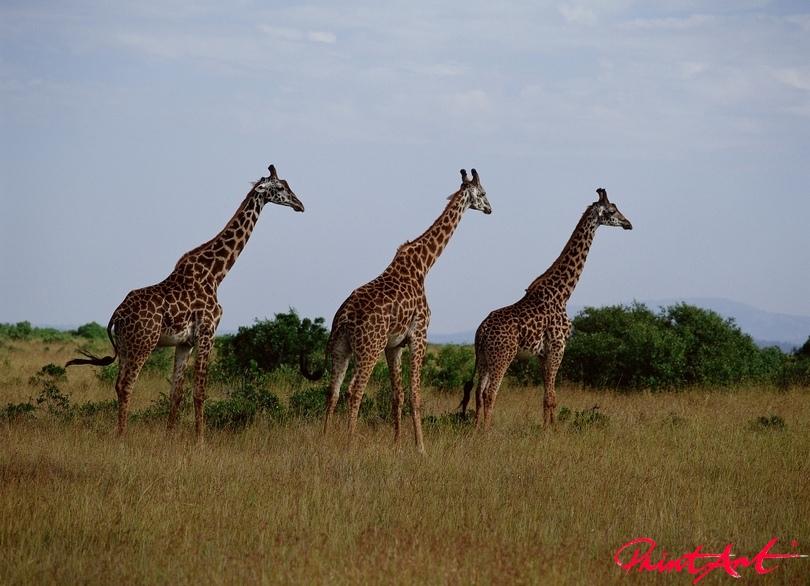 Giraffentrio Wildtiere