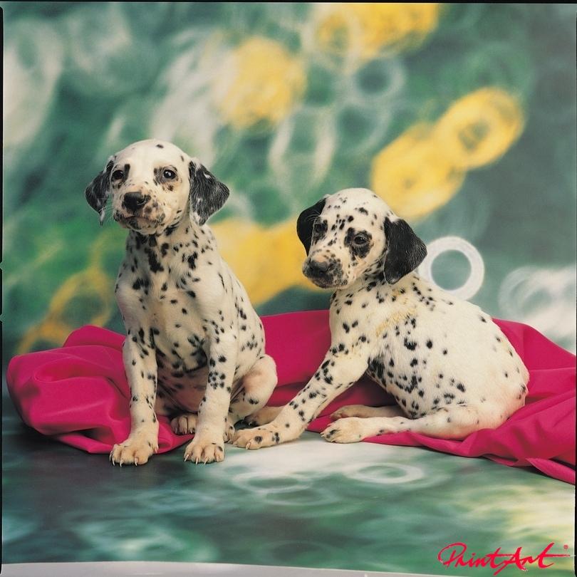 Dalmatinerwelpen Tierbabys