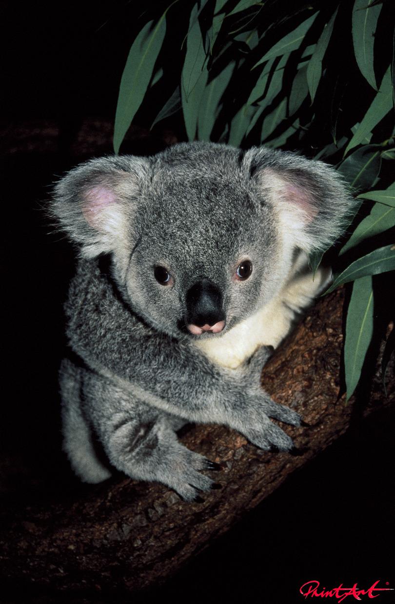 Koalababy Tierbabys