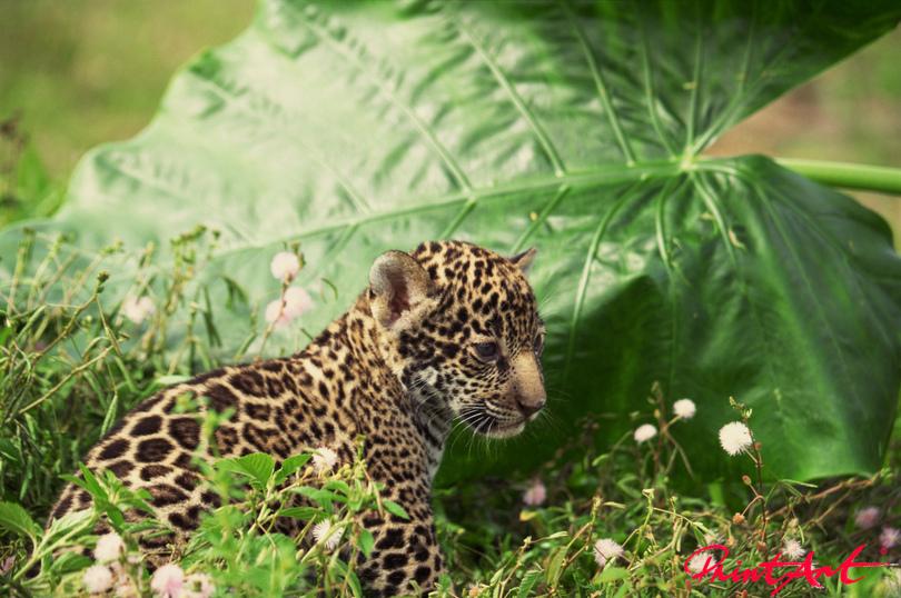 Leopardenbaby im Dschungel Tierbabys