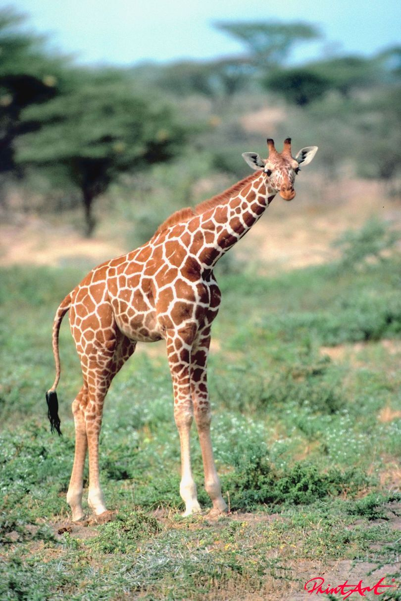 Giraffenkind Tierbabys