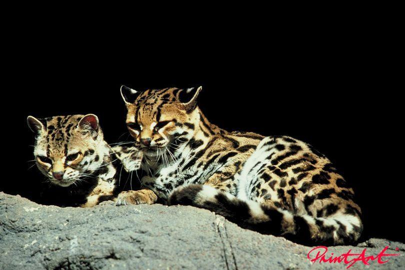 Gepardenbabys Tierbabys