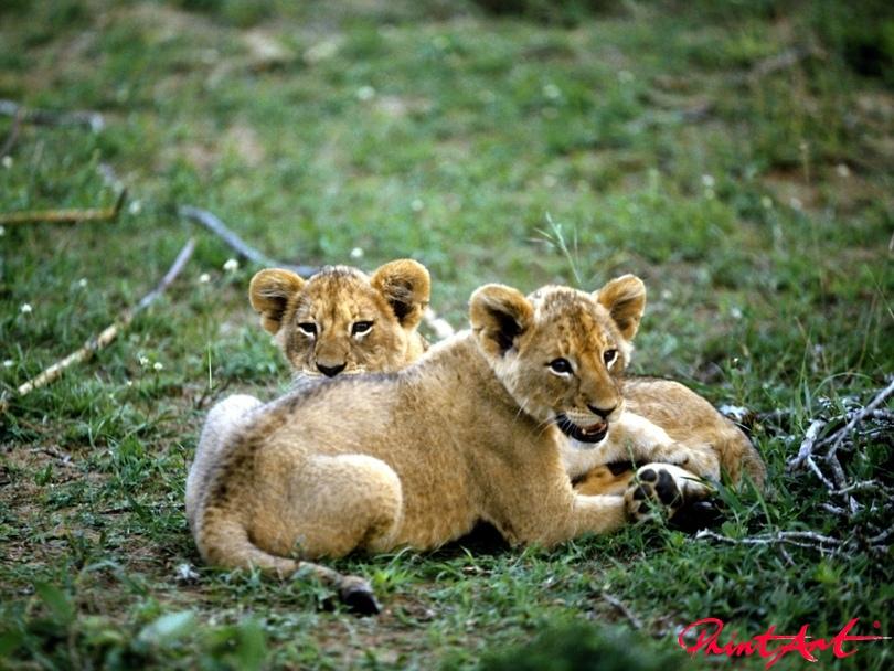 Löwenbabys Tierbabys