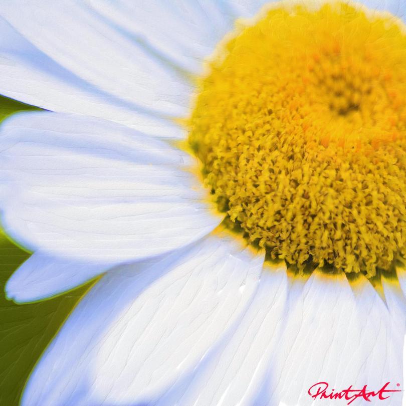 Weisse Blume Blumen