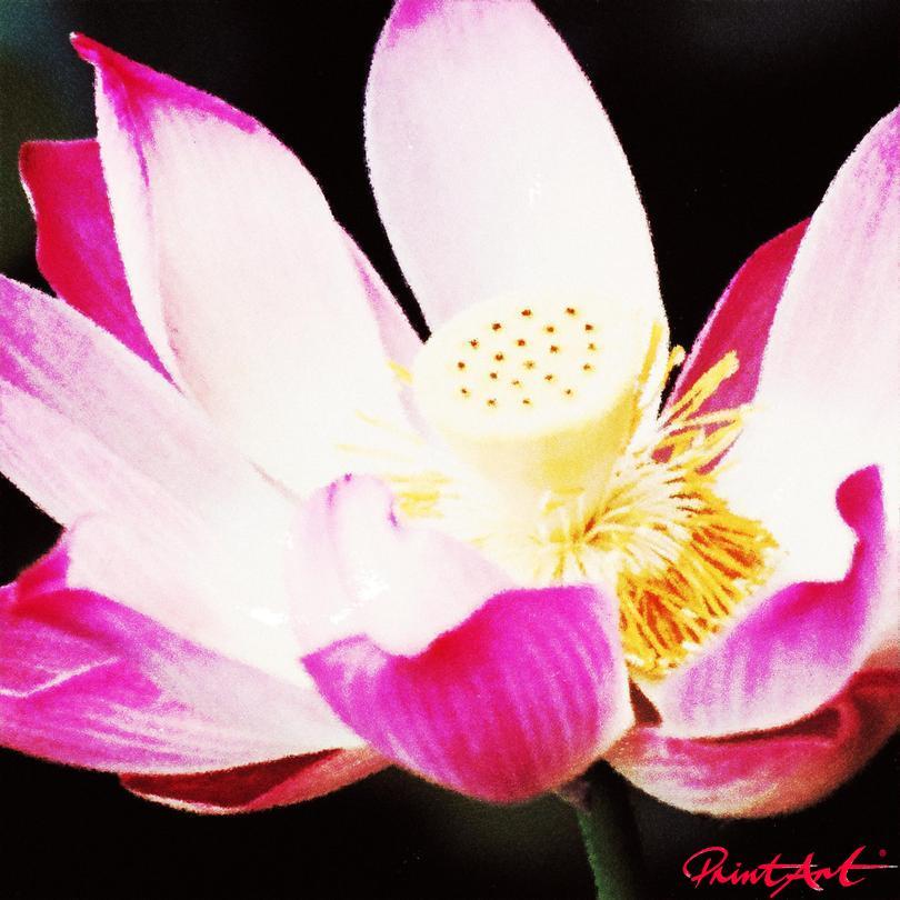 Seerose III Blumen