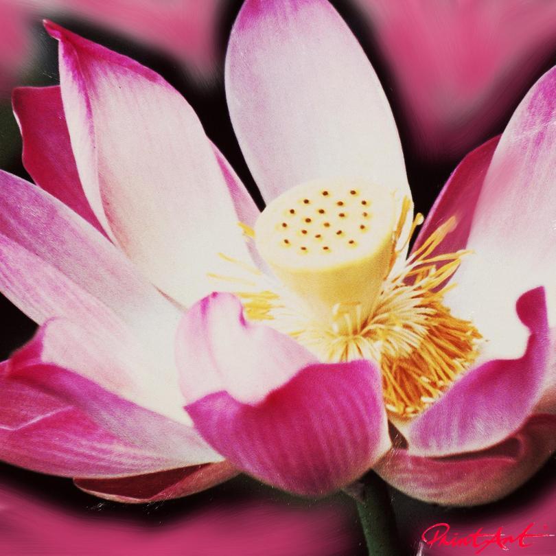 Seerose IV Blumen