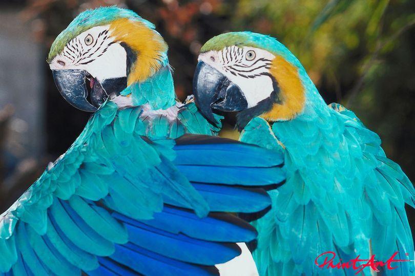 Papageien Paar Vögel