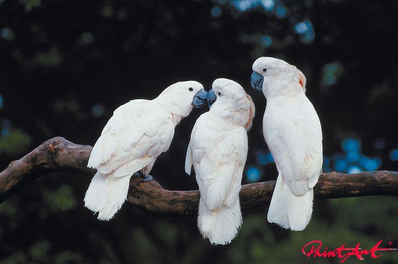 Kakadus Vögel