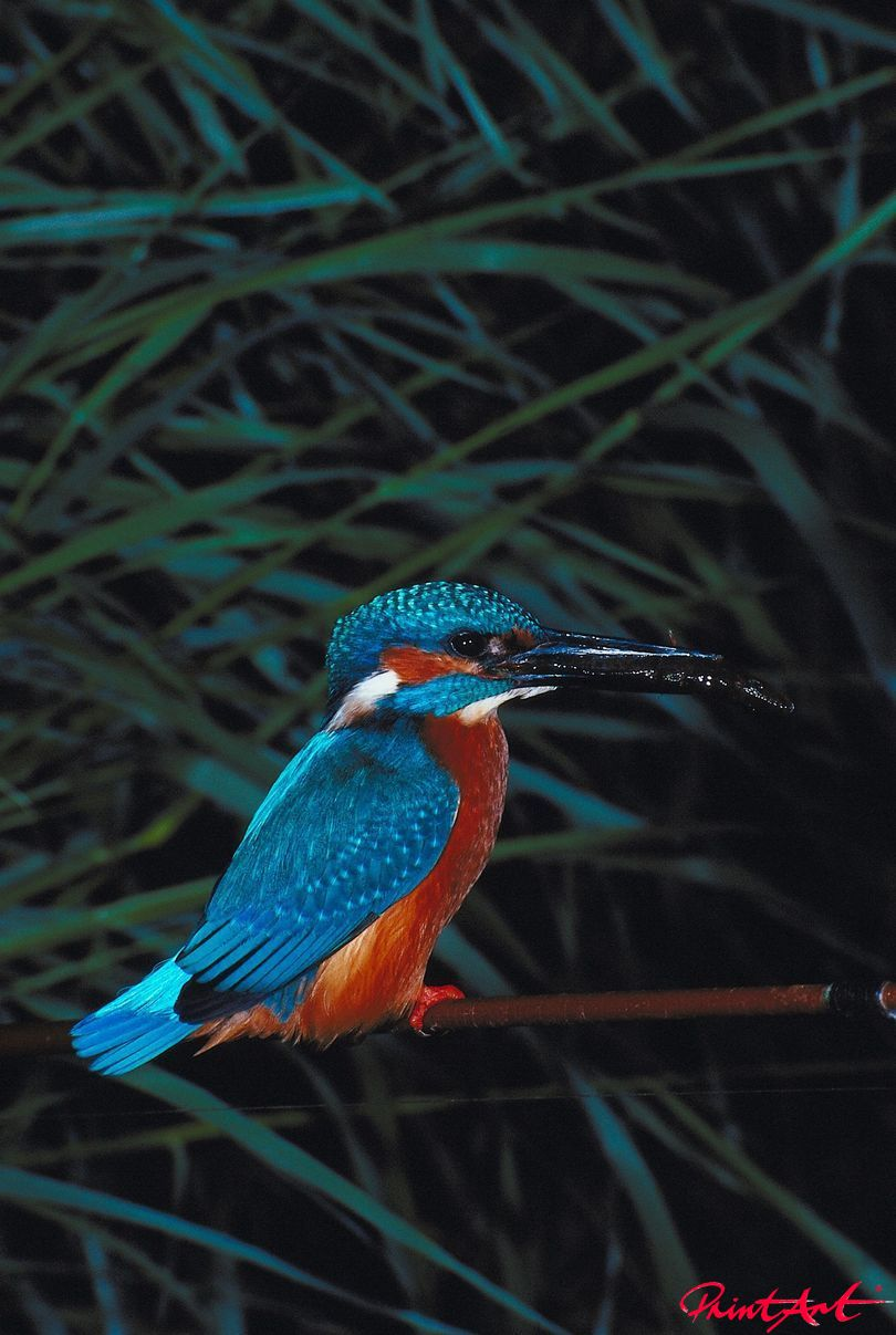 Eisvogel Vögel