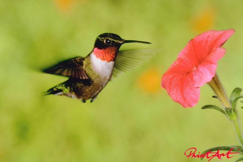 Kolibri Vögel