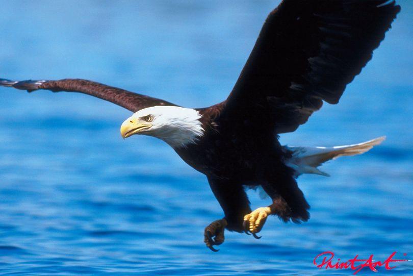 Weisskopfseeadler Vögel