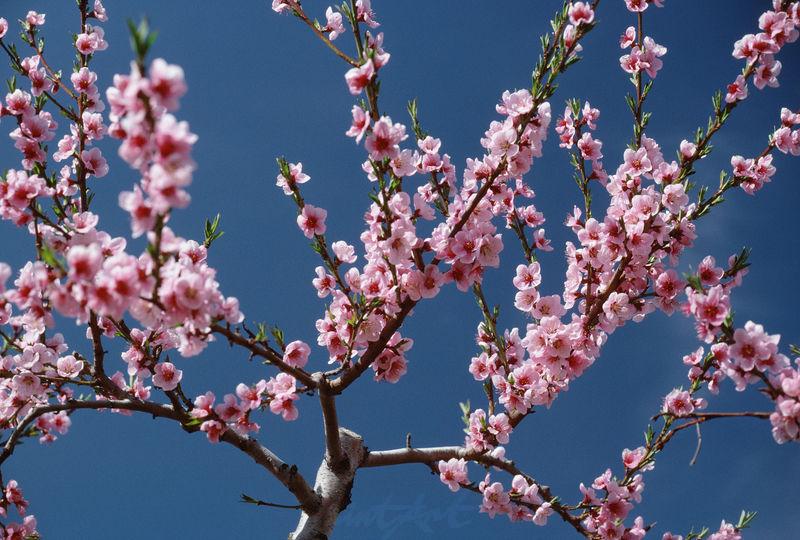 Apfelbaum Zweig Bäume