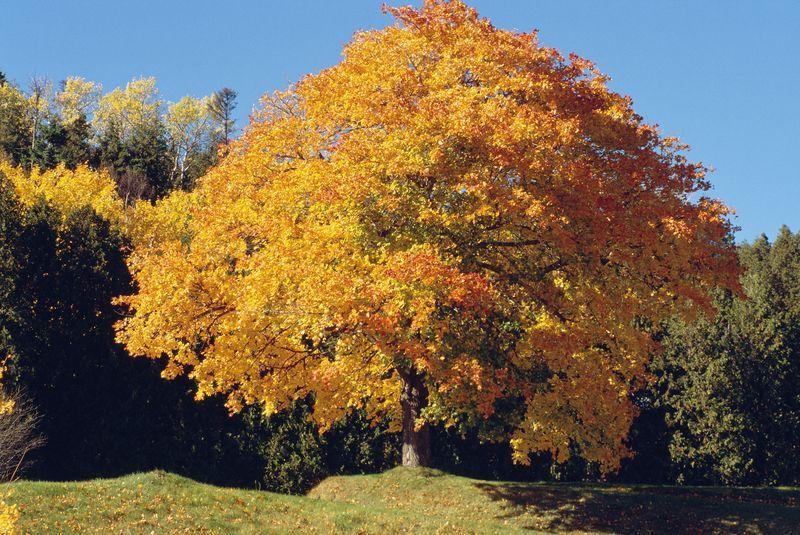 orangegelbe Pracht Bäume