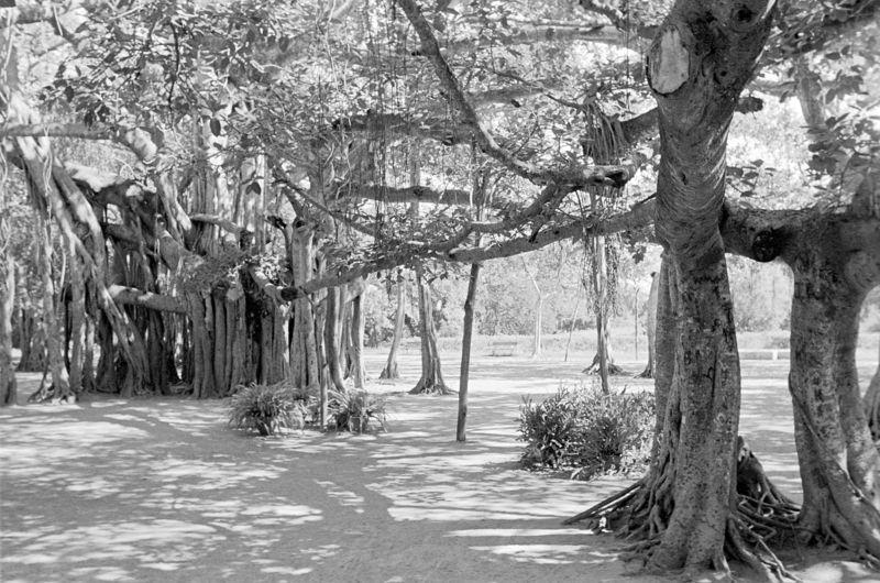 Allee Bäume