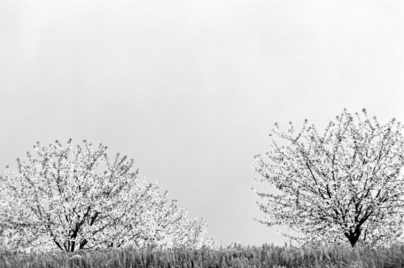 Kischbaum Bäume