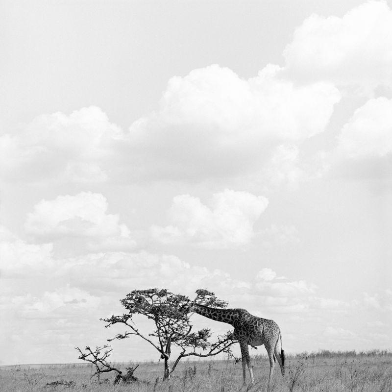 Baum Giraffe Bäume