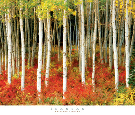 Aspen Grove Kunstdruck Scanlan